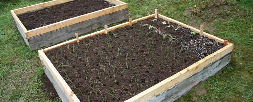 raised bed planted with onion and lettuce plants and carrot seeds