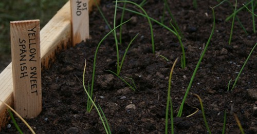 onions in raised bed with marker reading: spanish yellow sweet