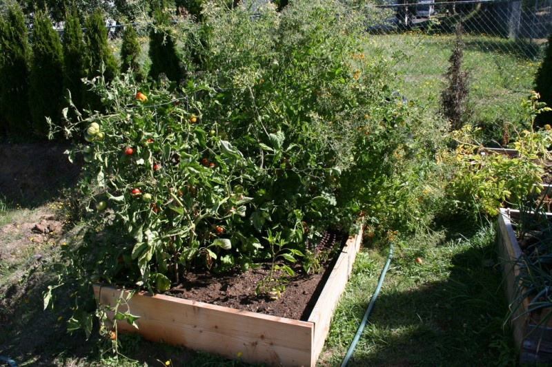 a bed of mostly tomatoes with one jalapeno and one eggplant