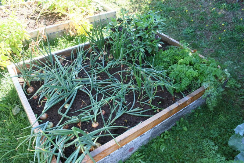 bed of onions, carrots and basil