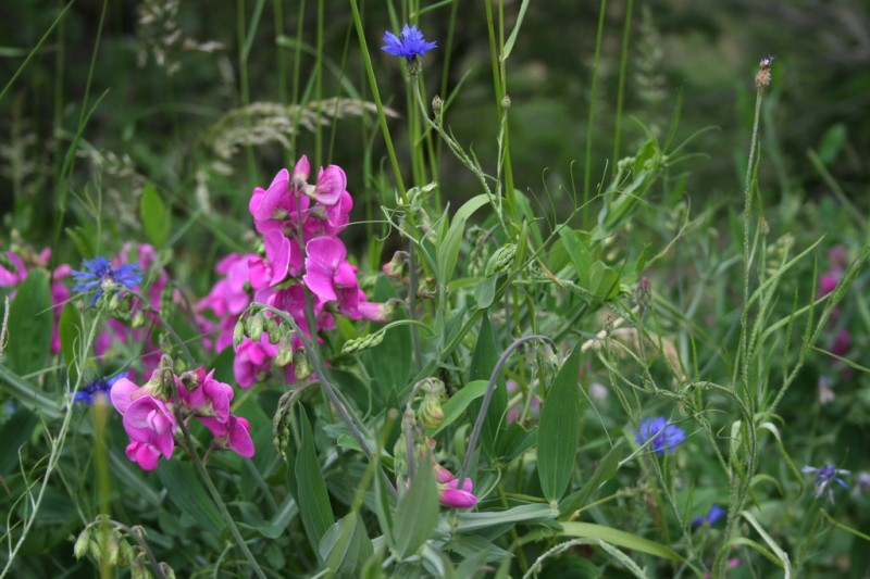 Purple and Blue Wildflowers