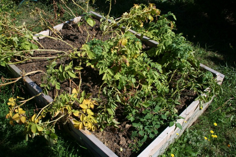bed of dead potato plants
