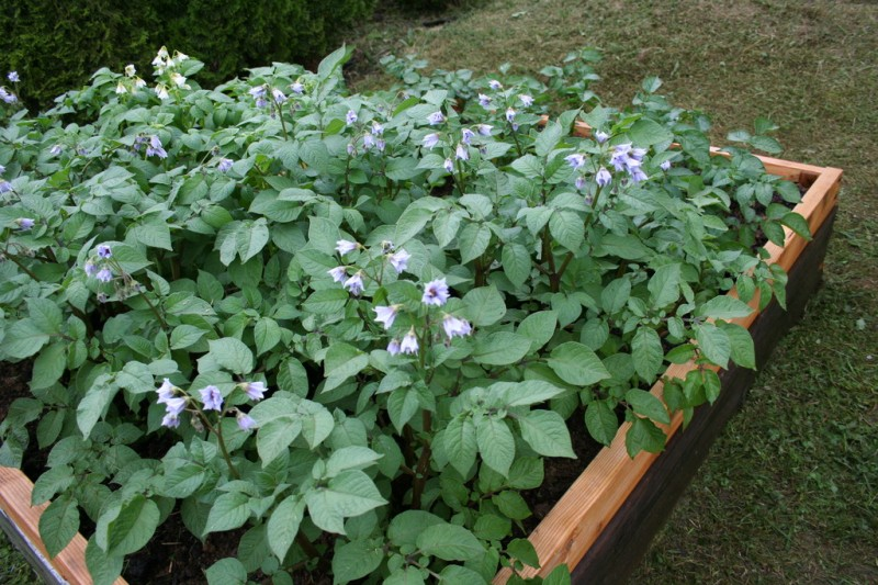 potato plants in a four by six foot bed
