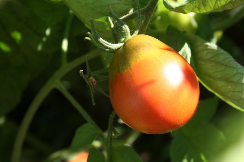 close up shot of a japanese black trifele tomato