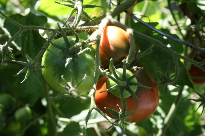 several japanese black trifele tomatoes on the vine
