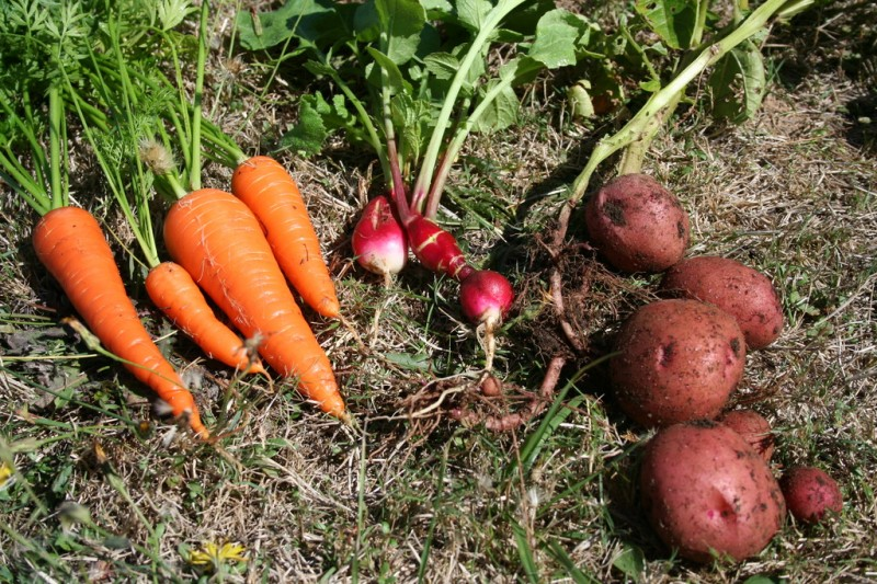 carrots, radishes and red potatoes