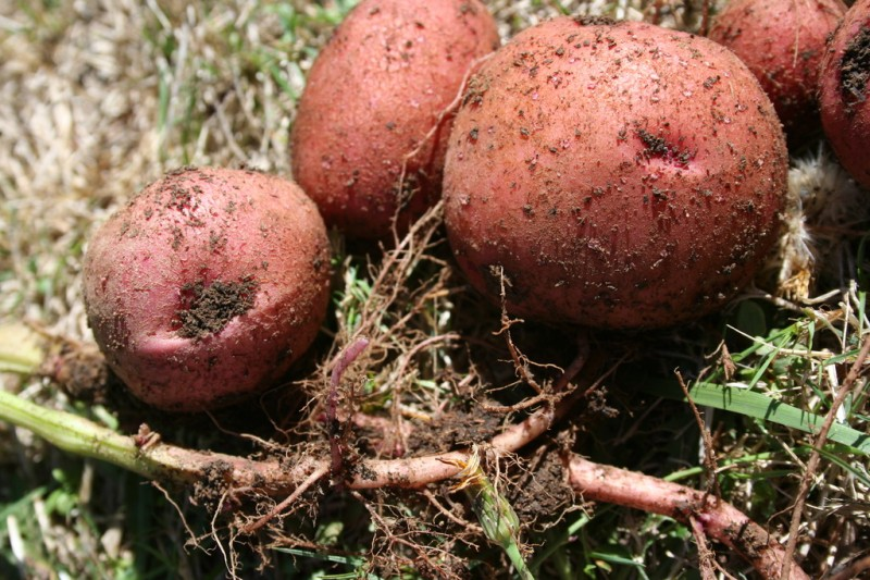 red potatoes with part of the plant