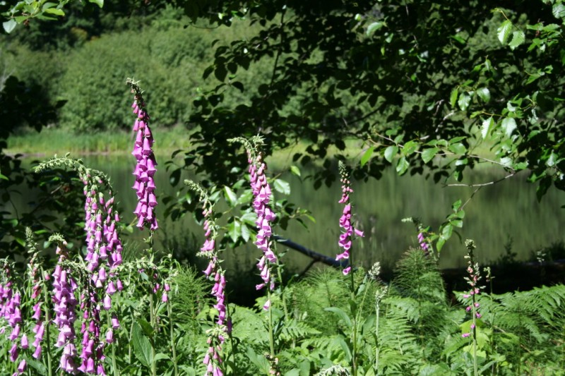 Purple foxgloves in front of the lake