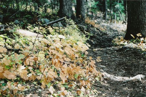 Yellow Leaves Beside the Trail