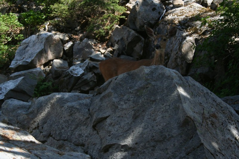 Deer behind a large rock