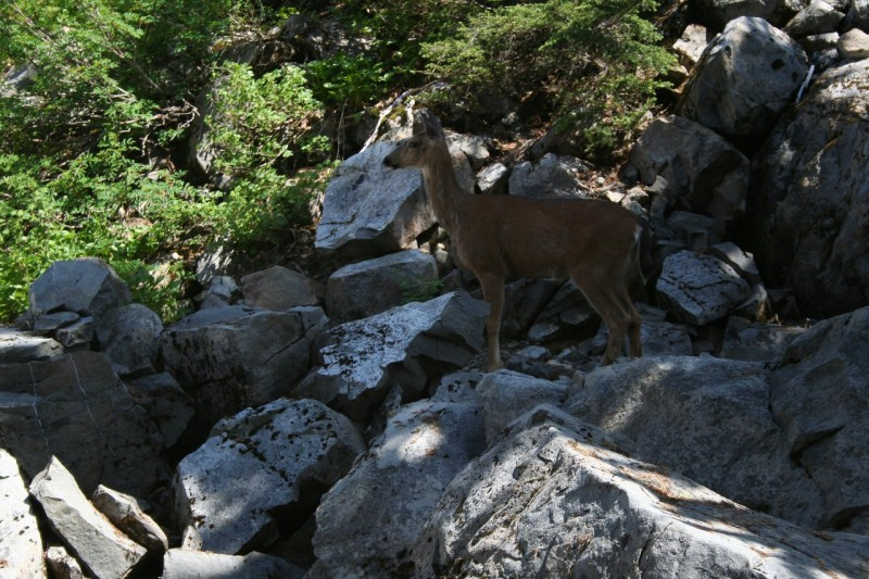 Deer among some rocks